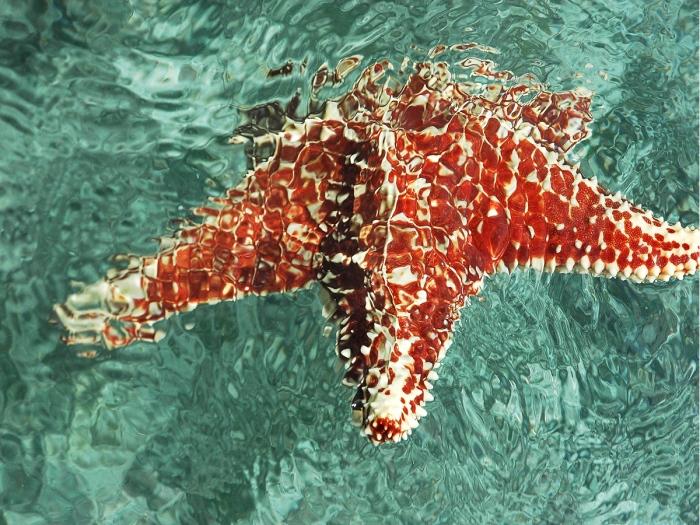 estrella de mar Morrocoy