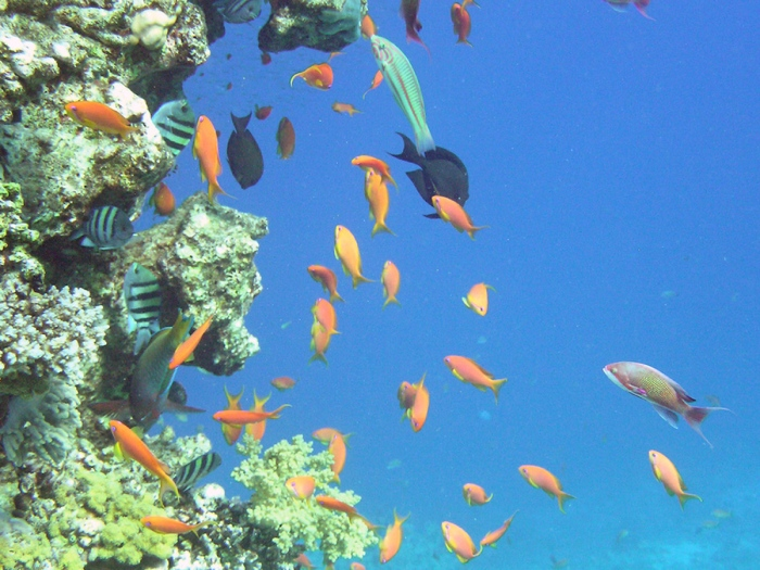peces-morrocoy
