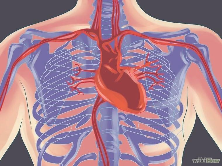 Moderno Donde Se Encuentra El Corazón Humano Ornamento - Anatomía de ...