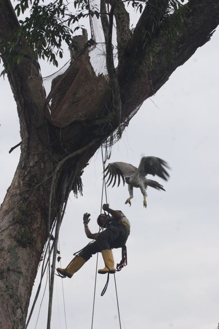 LLANOS VENEZOLANOS AGUILA ARPIA en árbol atacando humana,