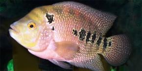 Descubren pez que reconoce a los de suespecie