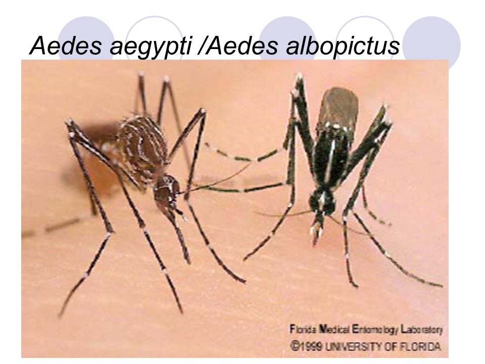 an analysis of aedies aegypti Effect of temperature on the vector efficiency of aedes aegypti for dengue 2 virus an analysis of the incidence of dhf cases in.