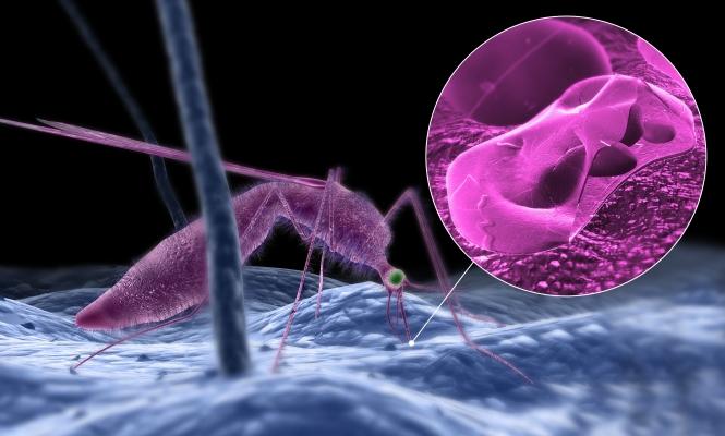 malaria-plasmodium-vivax