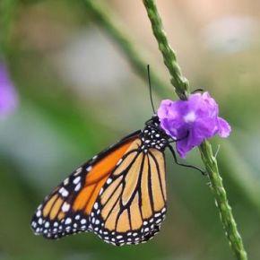 Científicos avanzan en el conocimiento sobre la coloración de lasmariposas