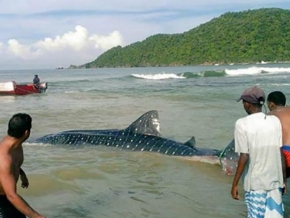 Mar de leva trajo Tiburón Ballena a Choroní(+vídeo)