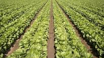 Autoridades de EEUU piden no consumir lechugas romanas por brote de E.coli