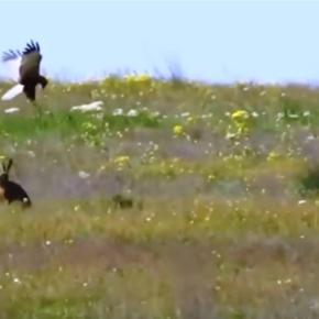 El verdadero conejo de la suerte: conejo escapa de unhalcón