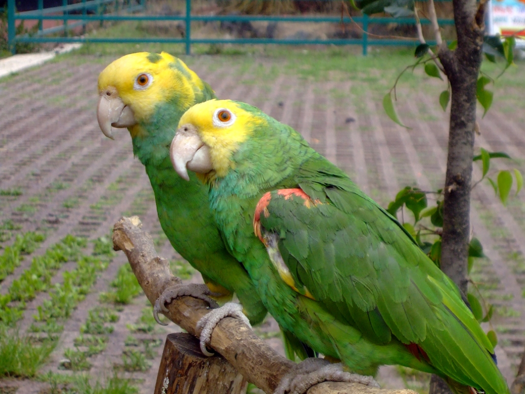 Yellow-headed_Amazon_Amazona_oratrix_-_2_on_perch1