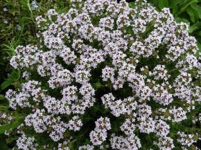 Tomillo, planta aromática ymedicinal